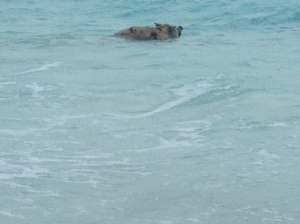 Pig swimming 2